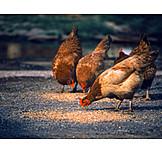 Chicken, Fodder, Picking