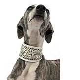 Animal portrait, Dog, Necklace, Greyhound, Whippet