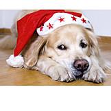 Dog, Santa hat, Alert
