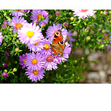 Aster, Peacock butterfly