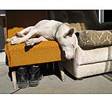 Dog, Bull terrier