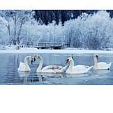 Winter, Swan