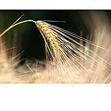 Barley, Grain, Wheat ear