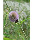 Bumblebee, Thistle