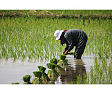Harvest, Paddy, Rice Cultivation