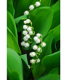 Plant, Flower, Lily of the valley