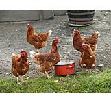Chicken, Free range, Biologically