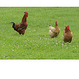 Rooster, Chicken, Poultry, Free range