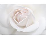 Rose, Rose petals
