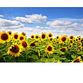 Sunflower, Sunflower field