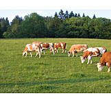 Cow, Pasture, Cattle