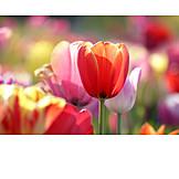 Tulip, Tullips