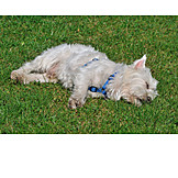 Sleeping, Dog, West highland terrier