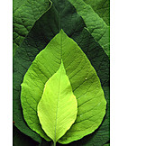 Leaf, Growth, Leaf