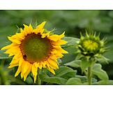 Sunflower, Blossom
