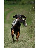 Retrieving, Hound, Austrian black and tan hound