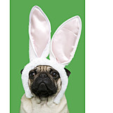 Pug, Rabbit ears