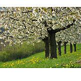 Cherry Tree, Spring, Fruit Tree, Fruit Orchard