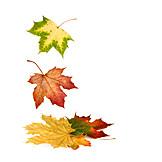Leaves, Autumn leaves, Maple leaf, Maple tree