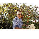 Apple harvest, Harvesting, Gardener