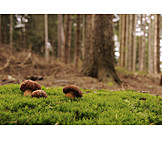 Mushroom, Boletus badius