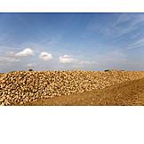 Sugar Beet, Harvest