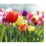 Tulip, Spring, Flowering