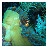 Sea anemone, Anemonefish, False clownfish