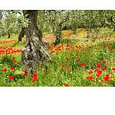Poppy, Poppies, Olive tree, Olive grove