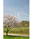Spring, Almond Tree, Almond Blossom, Vineyard