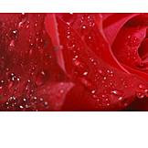 Rose, Dewdrop, Rose Petals