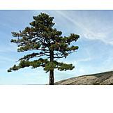 Tree, Pine