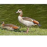Goose, Egyptian goose
