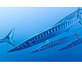 Underwater, Barracuda