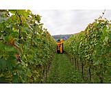 Agriculture, Harvest, Vintage, Grape Harvest Machinery