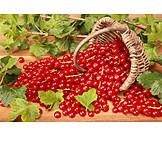 Berries , Currant, Harvest