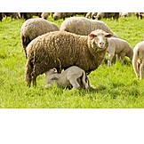 Sheep, Sheep farming