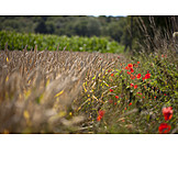 Wheat, Rural scene, Wheat field