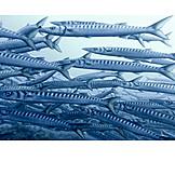 School of fish, Barracuda