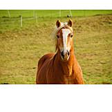 Horse, Paddock, Haflinger