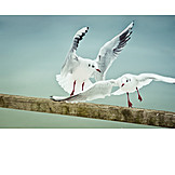 Confrontation & rivalry, Flying, Seagull