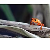 Frog, Poison dart frog