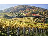 Autumn, Vineyard, Wine Field
