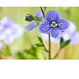 Flower, Garden lobelia