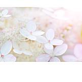 Blossom, Pink, Hydrangea