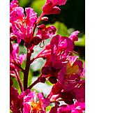 Horse chestnut, Chestnut blossom