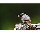 Mockingbird, Black redstart
