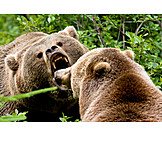 Confrontation & rivalry, Animal mouth, Brown bear