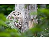 Raptor, Ural owl