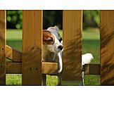 Dog, Ratonero